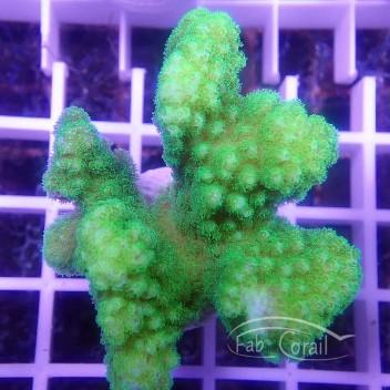 Pocillopora tricolor pocillo160