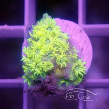 Goniopora jaune vert gonio236