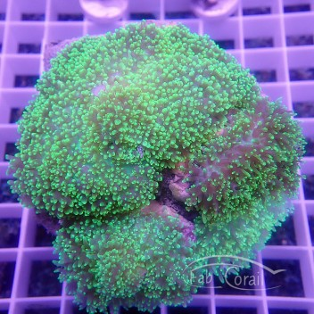 Rhodacthis indonesis disco235
