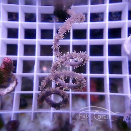 Gorgone symbiotique Gorgonia ventalina107