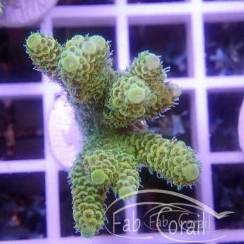 Acropora millepora acro2809