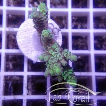 Acropora tenuis jaune acro2841