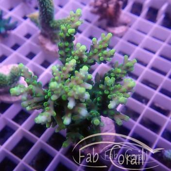Acropora tenuis special filtre acro2851