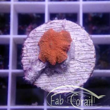 Discosoma ferrugatus rouge disco224