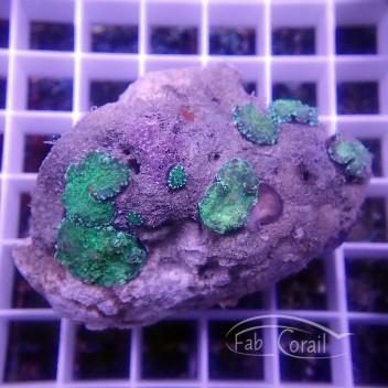 Rhodactis indonesie disco242