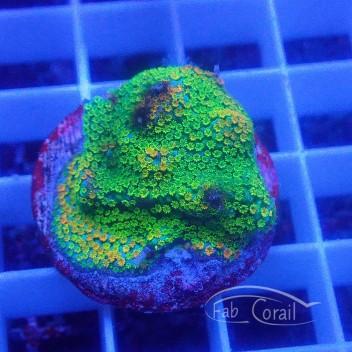 Montipora tuberculosa polype vert monti864