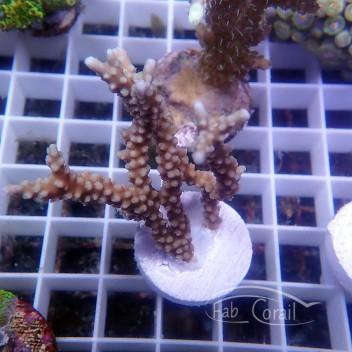 Anacropora sp1RARE