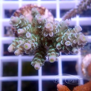 Acropora tenuis spécial filtre indonésie acro2866