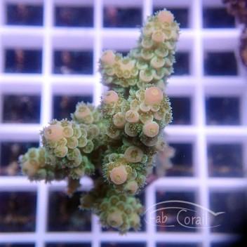 Acropora tenuis spécial filtre indonésie acro2868