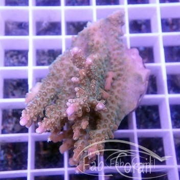 Acropora tenuis indonésie acro2896