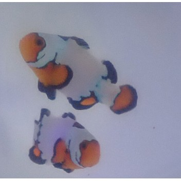 Amphiprion black ice extreme le couple ELEVAGE FRANCAIS