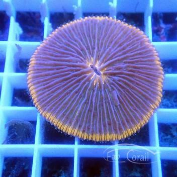 Fungia orange Indonésie taille L fungia164