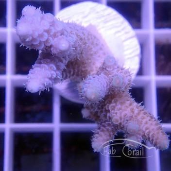 Acropora tenuis indo indonésie acro2951