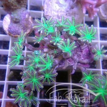 clavularia tricolor clavu112