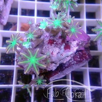 clavularia tricolor clavu113