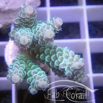 Acropora tenuis special filtre indonésie acro2966