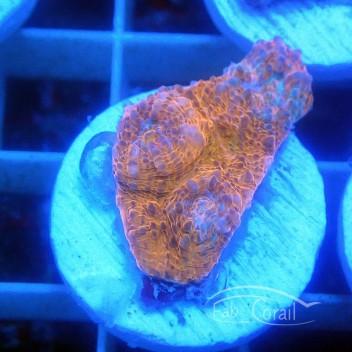 Echinophyllia echino123