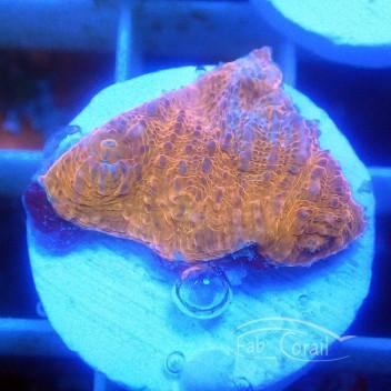 Echinophyllia echino124