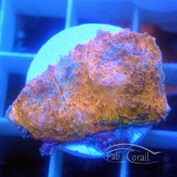 Echinophyllia echino125