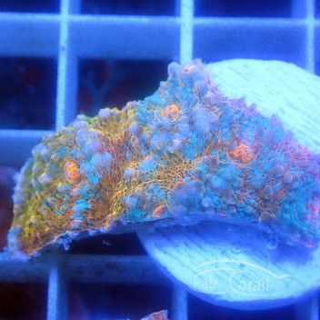 Echinophyllia echino135