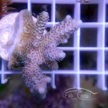 Acropora millepora special filtre indonésie acro2965