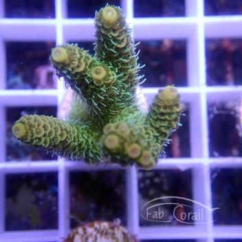 Acropora millepora indonésie acro2984