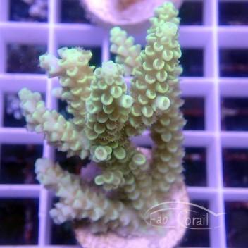 Acropora tenuis jaune australie acro2903