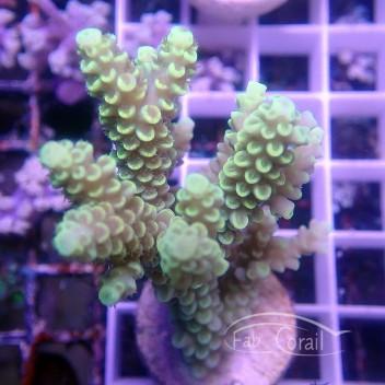 Acropora tenuis jaune australie acro2992