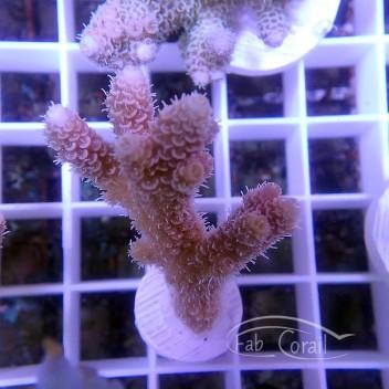 Acropora millepora indonésie acro3013