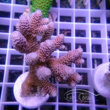 Acropora millepora indonésie acro3018