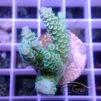 Acropora tenuis indonésie acro3031