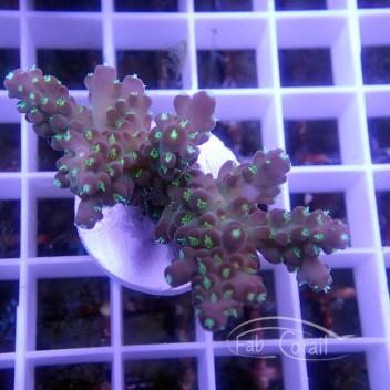 Acropora sp indonésie acro3036