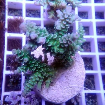 Acropora carduus indonésie acro3055