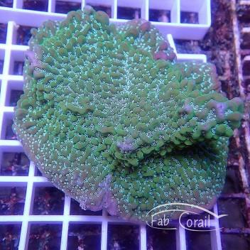 Montipora undulata L monti940
