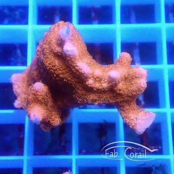 Montipora digitata rouge monti941