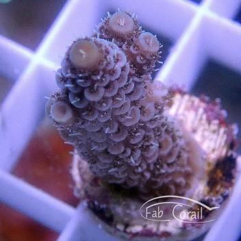 Acropora echinata acro3066