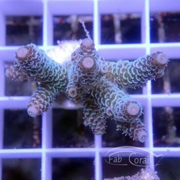 Acropora sarmentosa australie acro3076