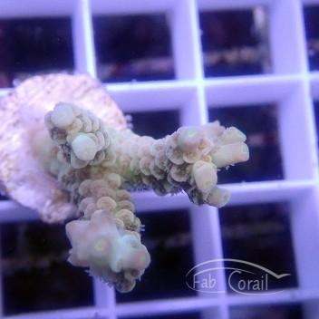 Acropora tenuis special filtre Indonésie acro3079