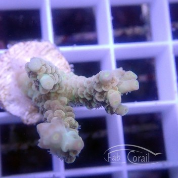Acropora latistella Indonésie acro3078