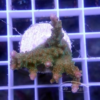 Acropora divaricata Indonésie acro3080