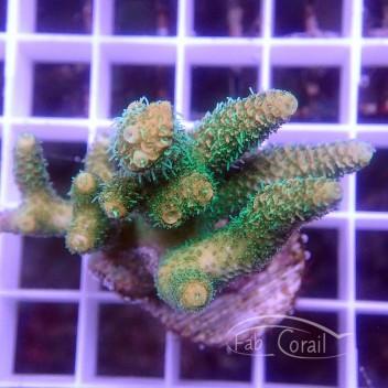 Acropora divaricata Indonésie acro3081