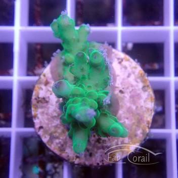 Acropora hyacinthus Indonésie acro3089