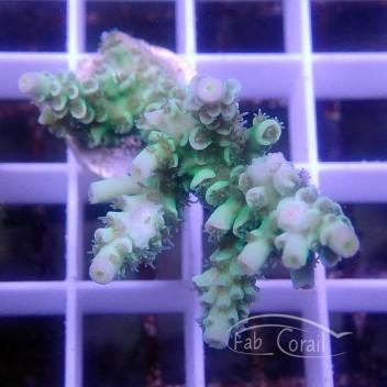 Acropora tenuis special filtre Indonésie acro3092