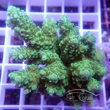 Acropora cytherea special filtre Indonésie acro3095