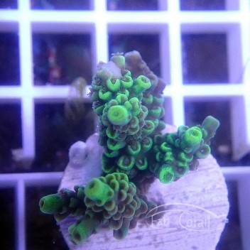 Acropora tenuis vert acro3097