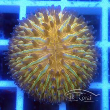 Fungia orange fungia161