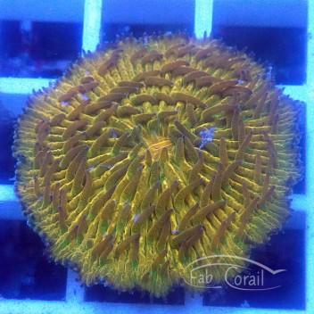 Fungia orange fungia170