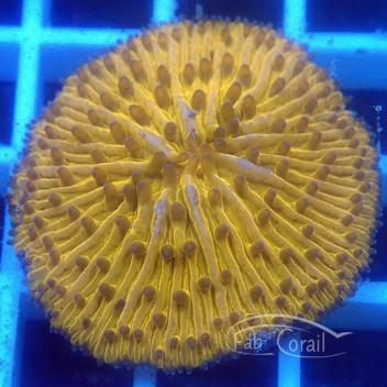 Fungia orange fungia171