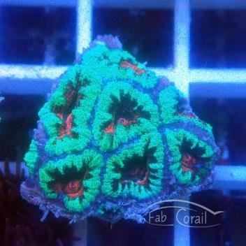 Acanthastrea lordhowensis AL1634