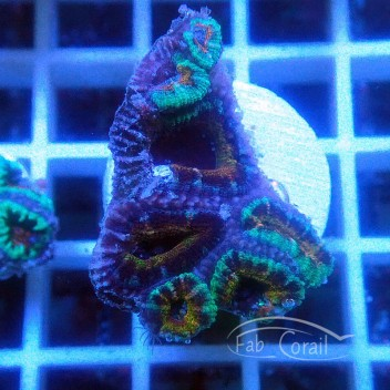 Acanthastrea lordhowensis AL1648